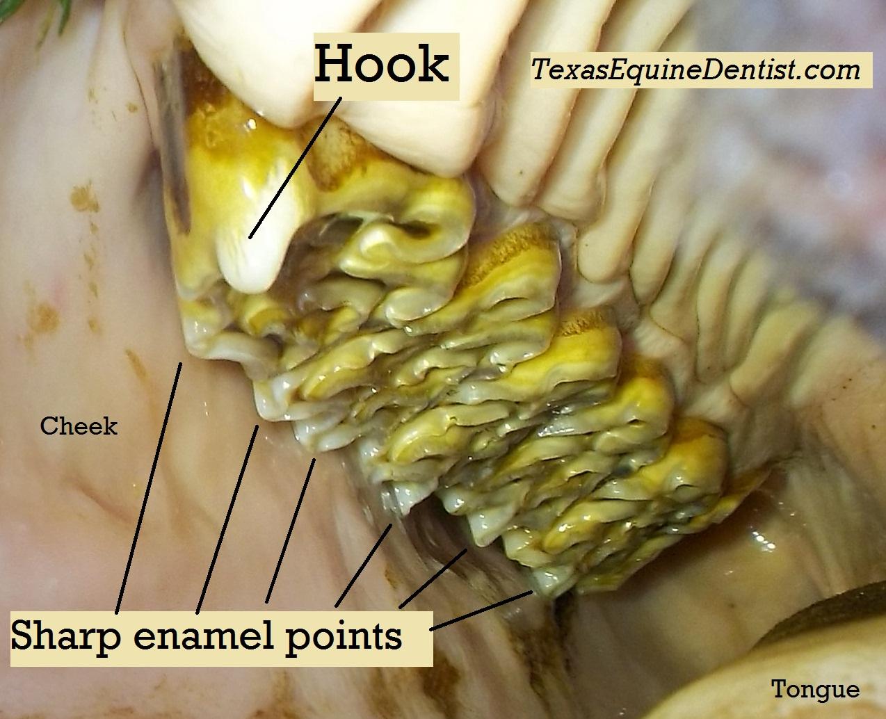 equine dental case studies