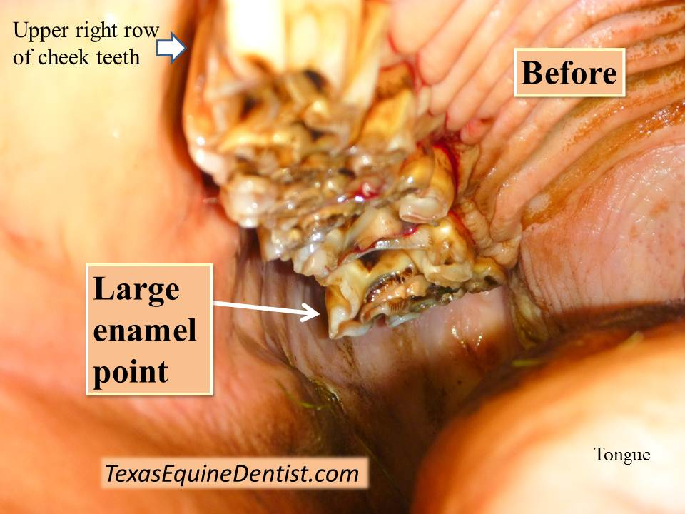 Case study: Large enamel point - Texas Equine Dentistry Blog Texas ...